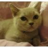 британский плюшевый котенок 2, 5 мес.